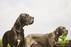 Blue and black dogs standing outside Royalty Free Stock Images