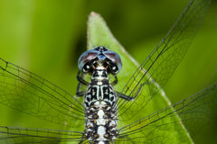 A blue and black dragonfly Royalty Free Stock Photos