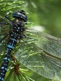 Blue Black Dragonfly Stock Images