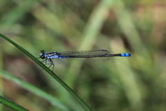 Blue and black dragonfly. On grass of the waterside Royalty Free Stock Photo