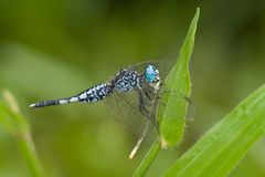A blue and black dragonfly with prey Stock Photos