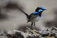 Blue and Black Feathered Small Bird Standing Royalty Free Stock Image