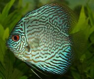 Blue and Black Fish Royalty Free Stock Photography