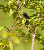 Blue-black Grassquit bird Royalty Free Stock Photos