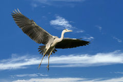 A blue black heron in the blue sky background. A full frame shot royalty free stock image