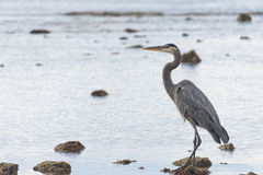 Blue black heron portrait. On the sea background Royalty Free Stock Image