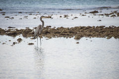 Blue black heron portrait. On the sea background Stock Images