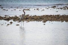 Blue black heron portrait Stock Images