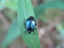 Blue Mteallic Shield bug on a leaf stock photos