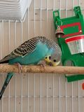 Blue and black parakeet royalty free stock photo