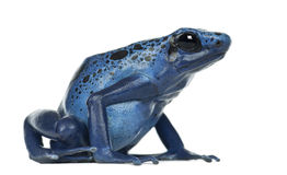 Blue and Black Poison Dart Frog. Dendrobates azureus, against white background Stock Photo