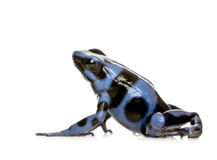 Blue and Black Poison Dart Frog - Dendrobates aura Royalty Free Stock Images
