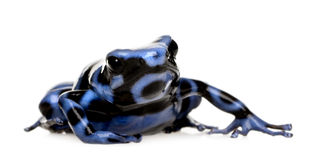 Blue and Black Poison Dart Frog - Dendrobates aura. Tus in front of a white background Stock Images