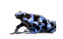 Blue and Black Poison Dart Frog - Dendrobates aura. Tus in front of a white background royalty free stock photo
