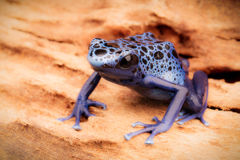 Blue and black poison dart frog Stock Photos