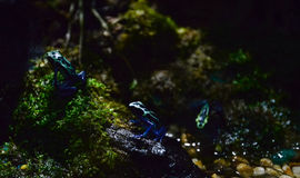 Blue and black poison dart frog Stock Images
