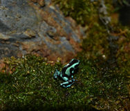 Blue and black poison dart frog Royalty Free Stock Photography