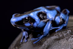 Blue and black poison frog (Dendrobates auratus) Stock Images
