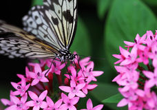 The blue black with white stripe butterfly sitting on red flower Stock Photo