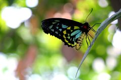 Blue Black Yellow Butterfly Stock Photos