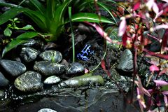 Blue and blanck frog stock images