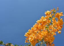 Blue blank with orange flowers Royalty Free Stock Photo
