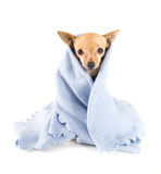 Blue blanket. A tiny chihuahua with a blue blanket on Royalty Free Stock Photo