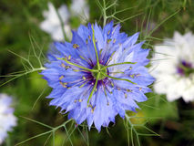 Blue Bloom. That is a macro from a blue bloom royalty free stock image