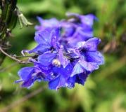 Blue Bloom - Blooming Larkspur. Blue Bell Larkspur in Dirleton castle gardens, Scotland Royalty Free Stock Photos