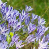 Blue Bloomers Royalty Free Stock Photo