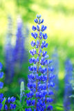 Blue Blooming Royalty Free Stock Image