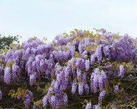A blue blooming climbing plant Royalty Free Stock Images
