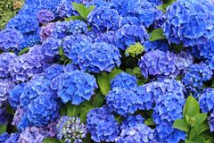 Blue blooming hydrangea in the garden. royalty free stock images