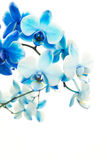 Blue blooming orchids Royalty Free Stock Image