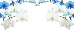 Blue blooming orchids frame Stock Images