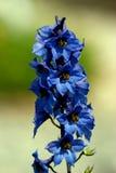 Blue Blossom. Bright blue flowers Stock Photos