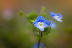 Blue blossom of birdeye veronica Royalty Free Stock Images