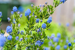 Blue Blossom of Ceanothus Concha Stock Photos