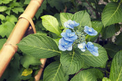 Blue blossom flower Royalty Free Stock Photos