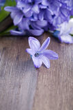 Blue blossom of  hyacinth  flower Royalty Free Stock Photography