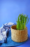 Blue muscari  in a  basket Stock Photos