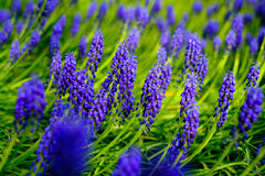 Blue blossoming lupines macro Stock Image