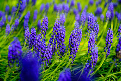 Blue blossoming lupines macro Royalty Free Stock Images