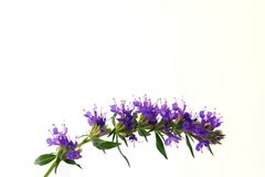 Blue blossoms of Hyssop. A close-up of Hyssop-Blossoms, isolated stock image