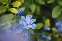 Blue Blossoms Royalty Free Stock Image