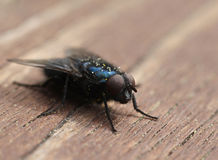Blue blow-fly closeup macro Stock Photography