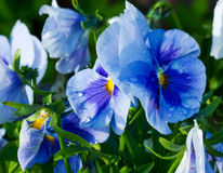 Blue with blue Pansy flowers with dew drops Royalty Free Stock Photo