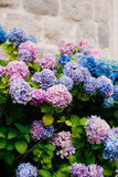 Blue, blue, pink flowers Hydrangea in the old town of Perast Royalty Free Stock Image
