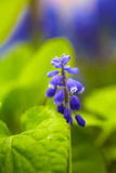 Blue bluebell Stock Images