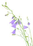 Blue bluebell flower Royalty Free Stock Photos